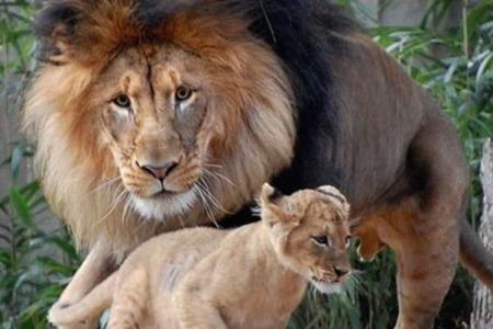 Het Jonge Leeuwtje